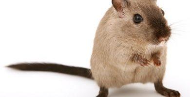 interpretar el sueño de soñar con ratas y ratones