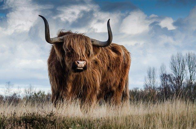 interpretar el sueño de soñar con toros y animales con cuernos